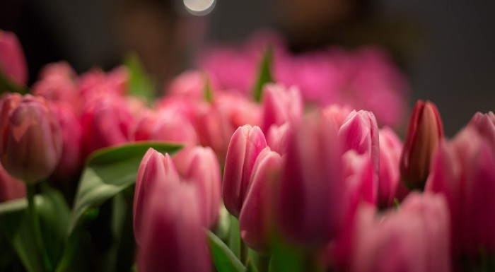 Wystawa tulipanów w Wilanowie