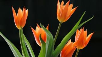 IX wystawa tulipanów w wilanowskiej Oranżerii